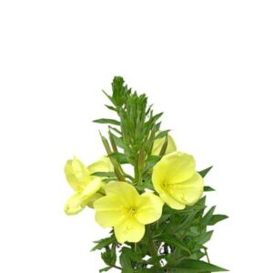 evening primrose oil - buy online at vijayimpex.co.in