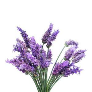 Lavender (W.S. FO)