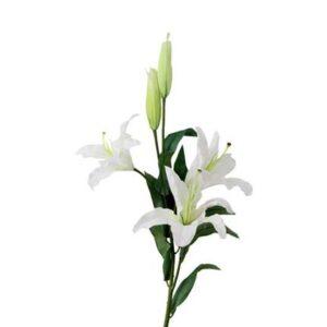 Lily (W.S. FO)