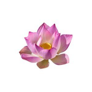 Pink Lotus Floral Wax