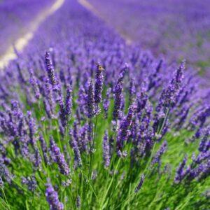 Premium Lavender Lip Flavoring Oil