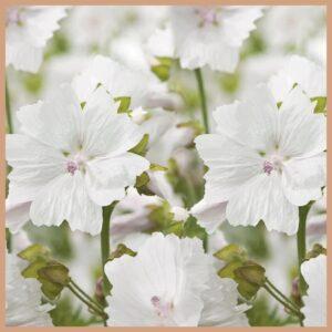 White Musk CP Stable Fragrance oil
