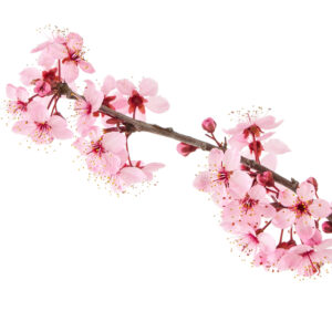 Sakura Hydro - Premium Water Soluble Fragrance Oil